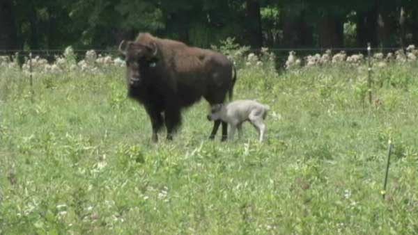 white buffalo born in northern wisconsin