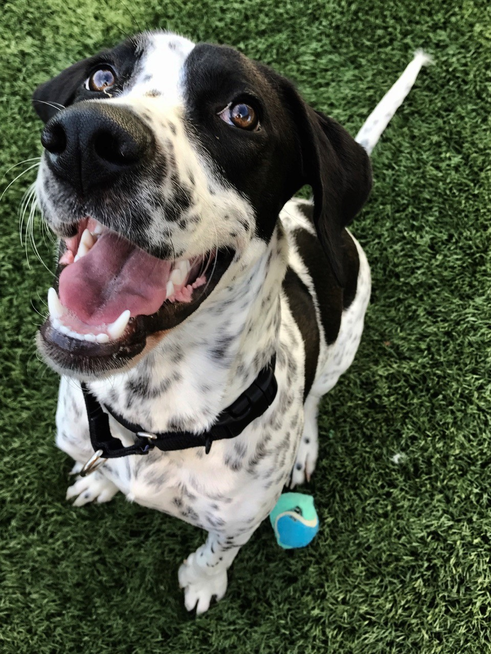 """<div class=""""meta image-caption""""><div class=""""origin-logo origin-image none""""><span>none</span></div><span class=""""caption-text"""">Scout is almost 3. She's a hound mix who was voted """"class clown"""" by her peers. A fan of toys, Scout prefers tennis balls. (WTVD photo/Julie Wilson)</span></div>"""