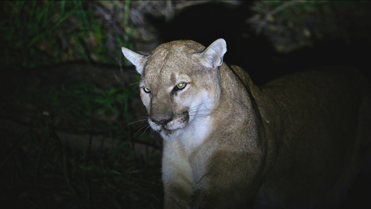 The mountain lion known as P-41 is seen in a photo provided by the National Park Service.