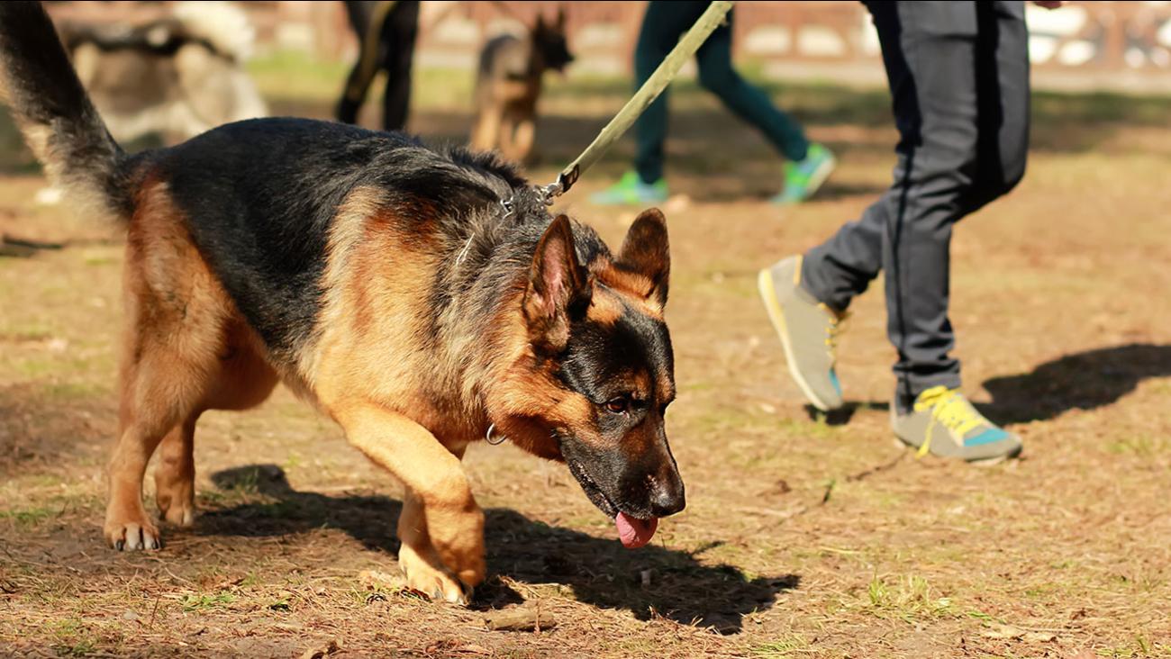 Training class for a K9 german shepherd detective dog.