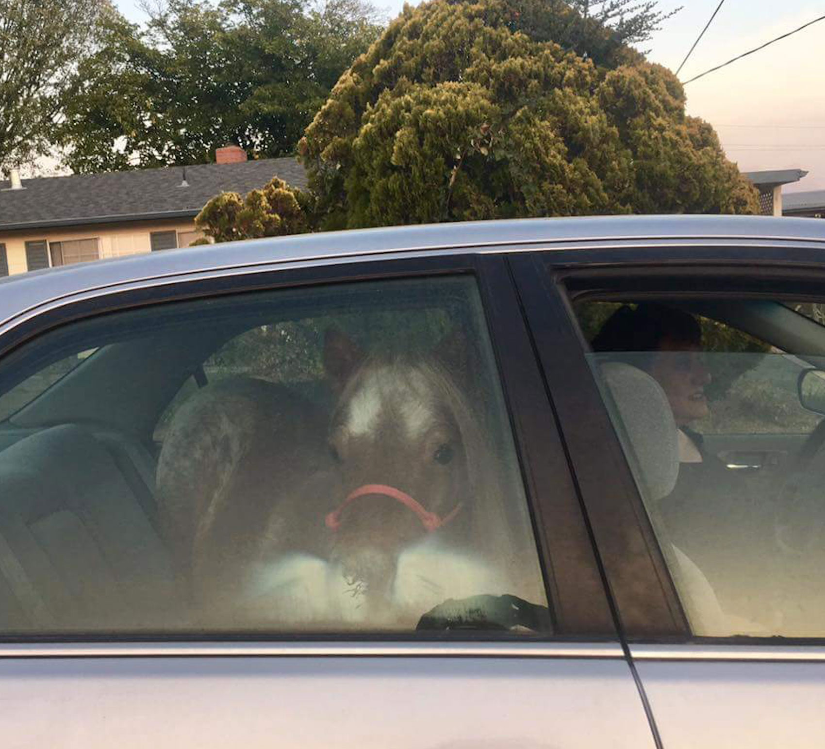 <div class='meta'><div class='origin-logo' data-origin='none'></div><span class='caption-text' data-credit='Lisette Hall Frye'>Lauren Mesaros evacuates her pony in a car.</span></div>