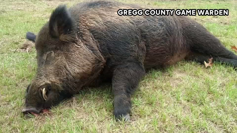 Man kills 416-pound wild hog in his yard