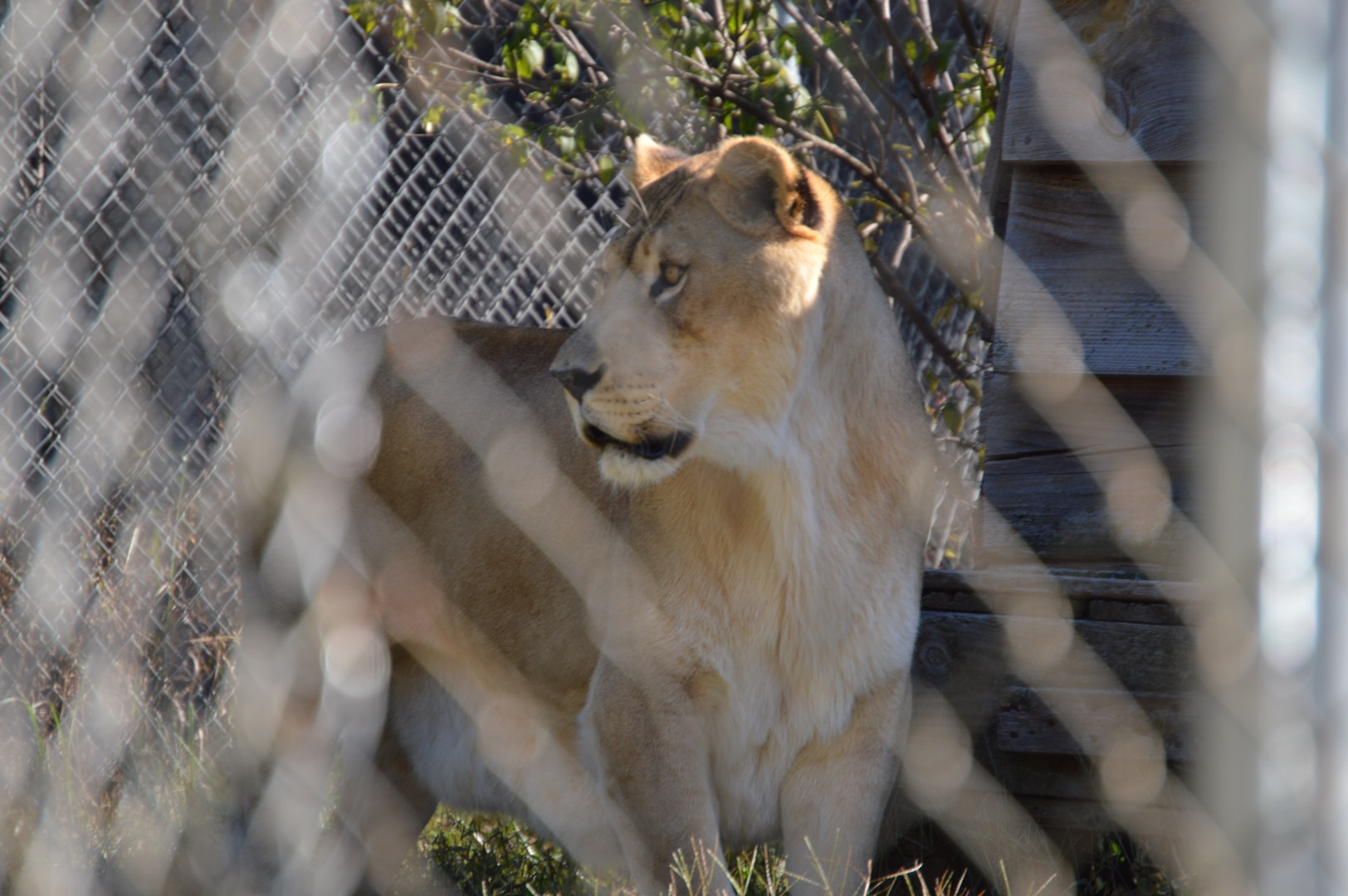<div class='meta'><div class='origin-logo' data-origin='WTVD'></div><span class='caption-text' data-credit='Angelica Alvarez'>Fifty-five animals call Carolina Tiger Rescue home. There are about 10 species including tigers, lions, and leopards.</span></div>