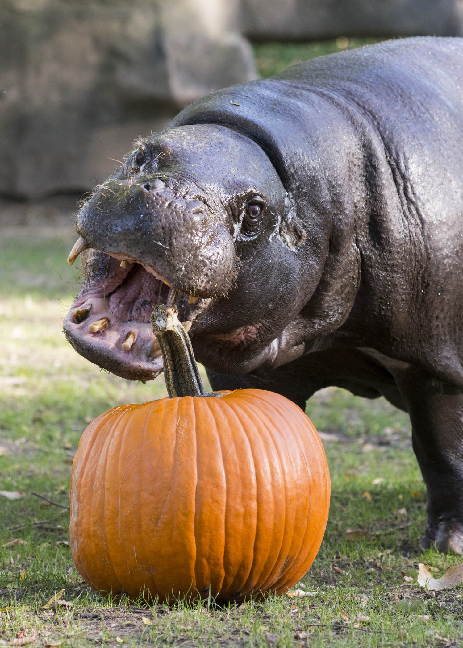 "<div class=""meta image-caption""><div class=""origin-logo origin-image wls""><span>WLS</span></div><span class=""caption-text"">Adelle, a 41-year-old pygmy hippo at Brookfield Zoo, gets ready to dig into a Halloween treat. (Kelly Tone/Chicago Zoological Society)</span></div>"