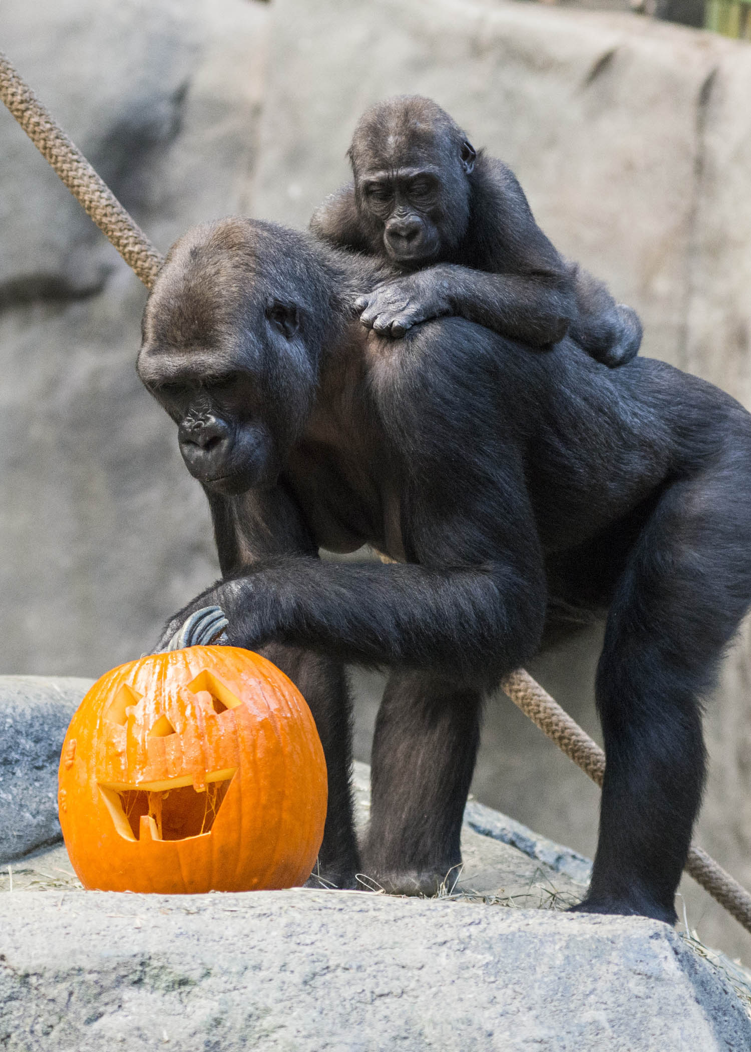 "<div class=""meta image-caption""><div class=""origin-logo origin-image wls""><span>WLS</span></div><span class=""caption-text"">Kamba, a female western lowland gorilla at Brookfield Zoo, investigates a Halloween treat while her son Zachary looks on. (Kelly Tone/Chicago Zoological Society)</span></div>"