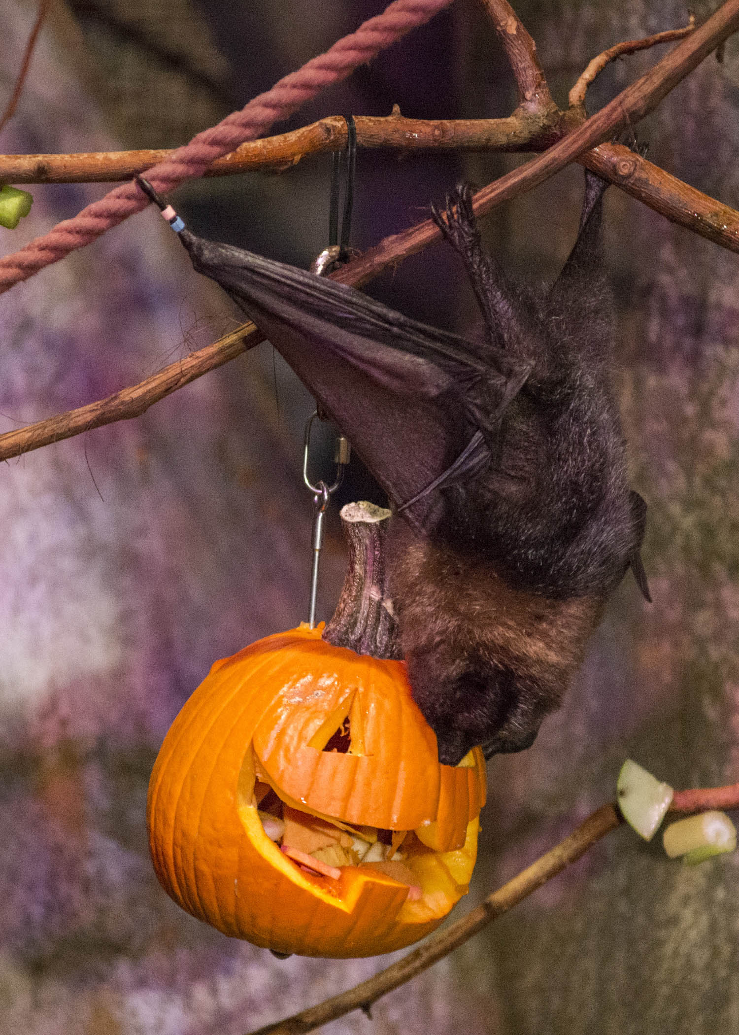 "<div class=""meta image-caption""><div class=""origin-logo origin-image wls""><span>WLS</span></div><span class=""caption-text"">The Rodrigues fruit bats at Brookfield Zoo's Australia House received carved pumpkins filled with a variety of chopped fruit. (Kelly Tone/Chicago Zoological Society)</span></div>"