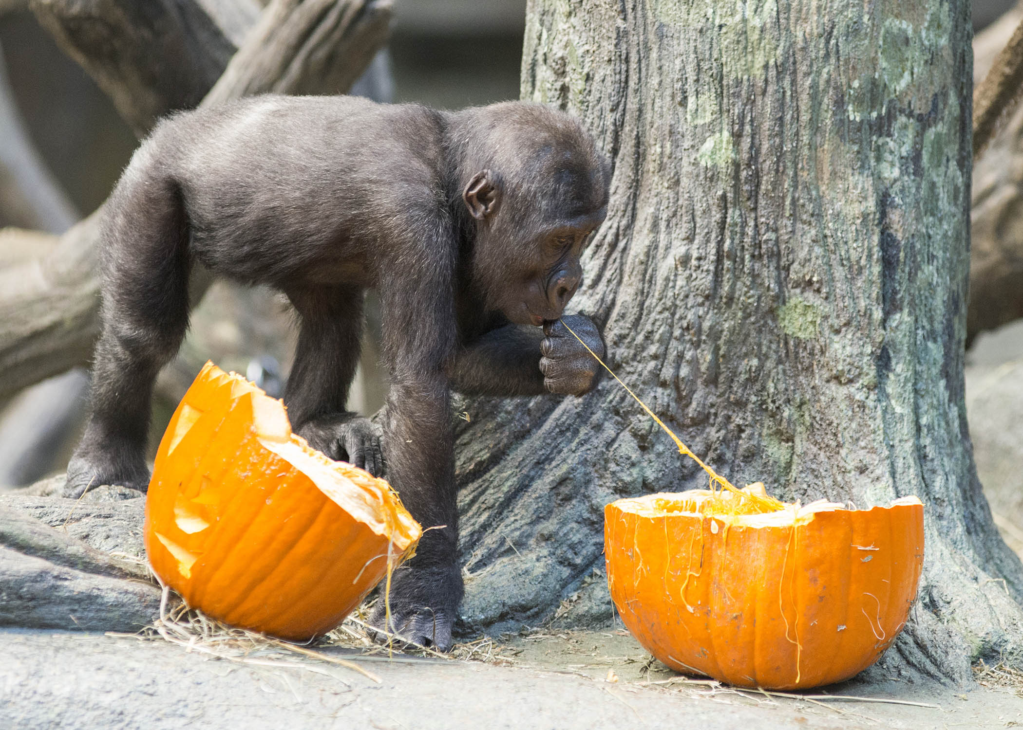 "<div class=""meta image-caption""><div class=""origin-logo origin-image wls""><span>WLS</span></div><span class=""caption-text"">Zachary, a western lowland gorilla at Brookfield Zoo, seems to be enjoying an early Halloween treat. (Kelly Tone/Chicago Zoological Society)</span></div>"