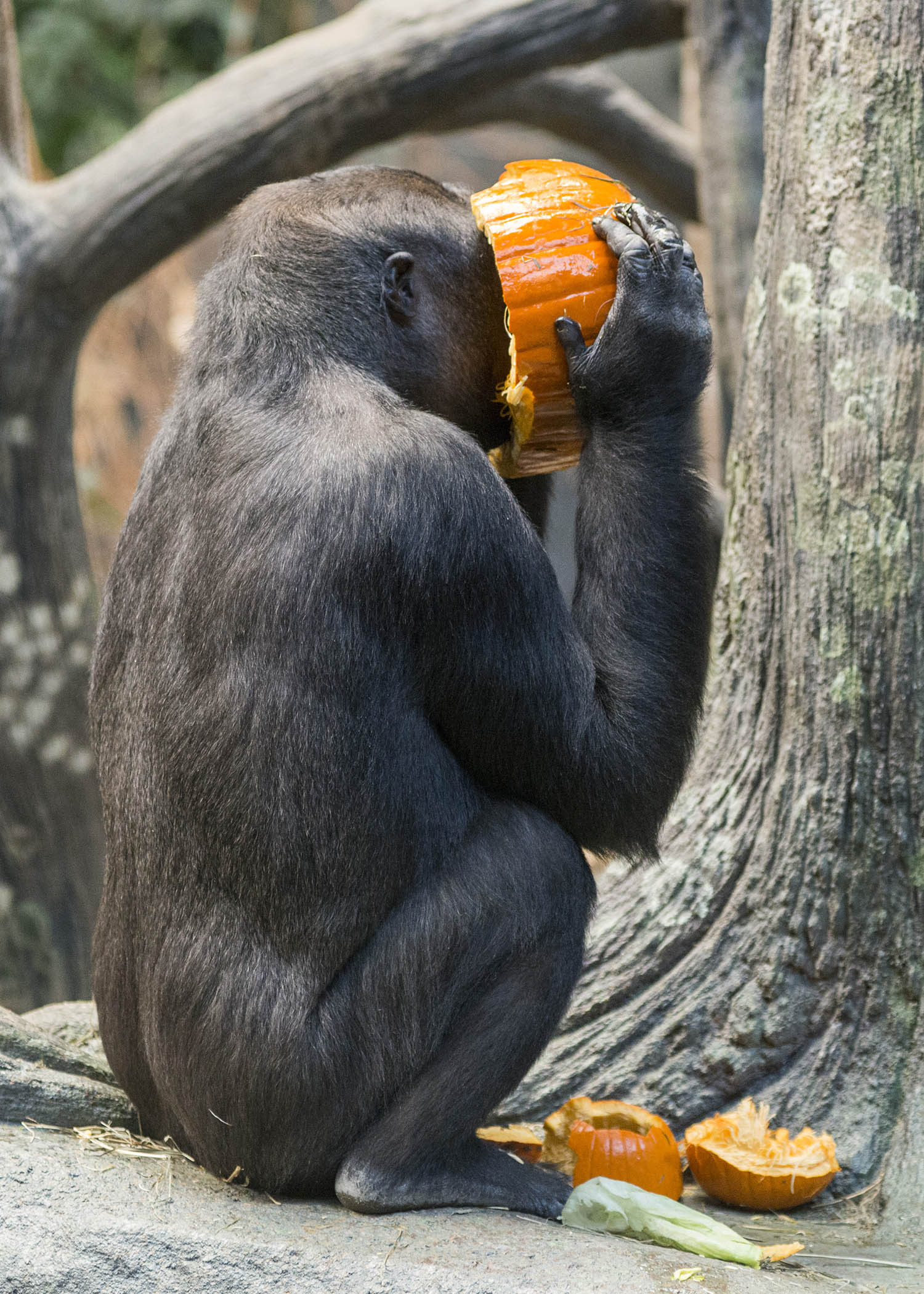 "<div class=""meta image-caption""><div class=""origin-logo origin-image wls""><span>WLS</span></div><span class=""caption-text"">Kamba, a western lowland gorilla at Brookfield Zoo, seems to be thoroughly enjoying the pumpkin that she and the other members of the gorilla family received as part of the zoo's (Kelly Tone/Chicago Zoological Society)</span></div>"