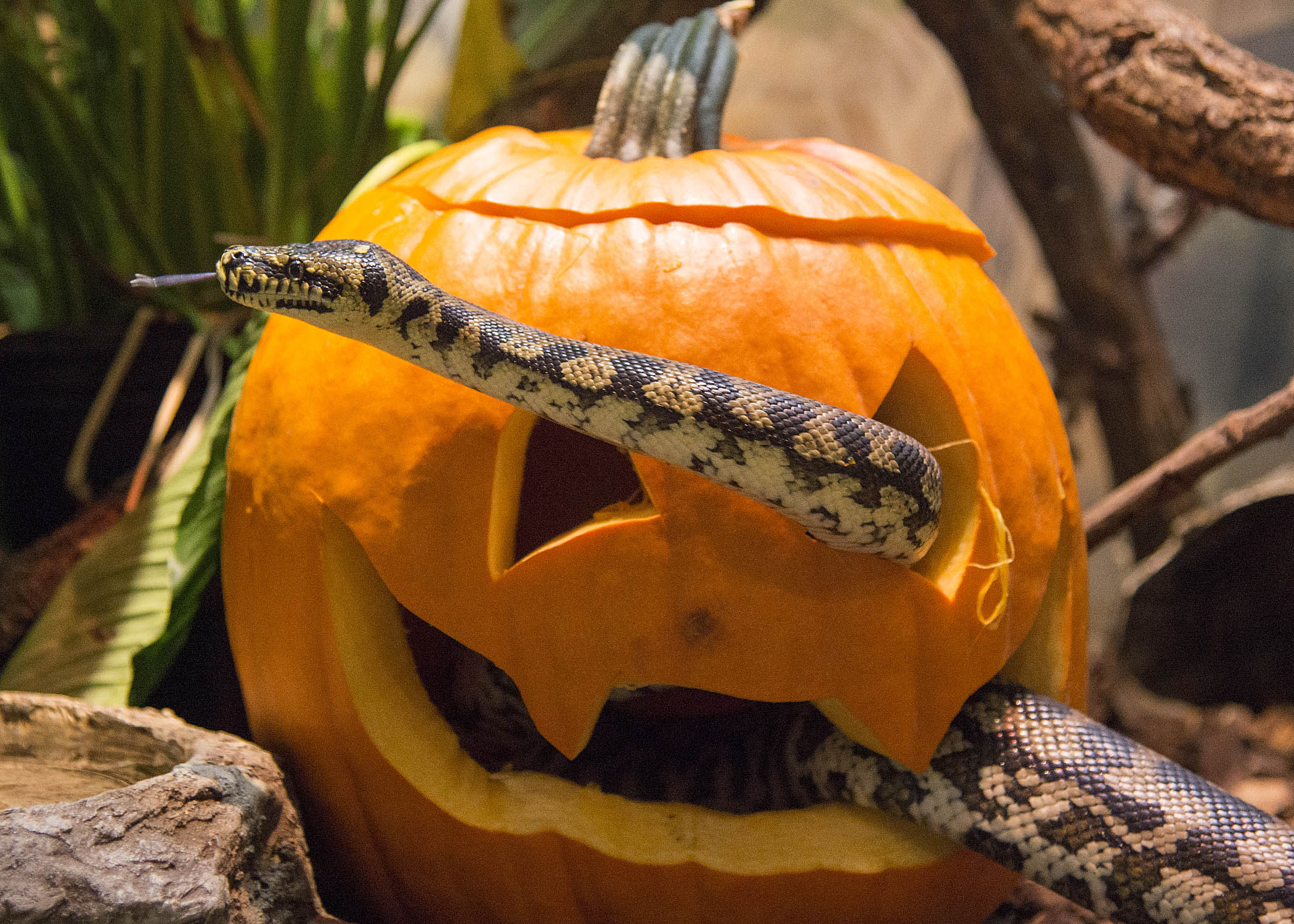 "<div class=""meta image-caption""><div class=""origin-logo origin-image wls""><span>WLS</span></div><span class=""caption-text"">A carpet python slithers his way through a carved pumpkin at Brookfield Zoo. (Kelly Tone/Chicago Zoological Society)</span></div>"