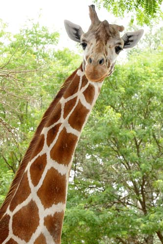 "<div class=""meta image-caption""><div class=""origin-logo origin-image none""><span>none</span></div><span class=""caption-text"">Mithra arrived at the Brookfield Zoo in September 1992 and was one of the oldest giraffes in a North American accredited zoo. (Chicago Zoological Society)</span></div>"