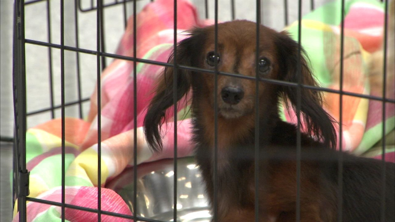 Adoptions begin for some dogs rescued from Peotone 'house of