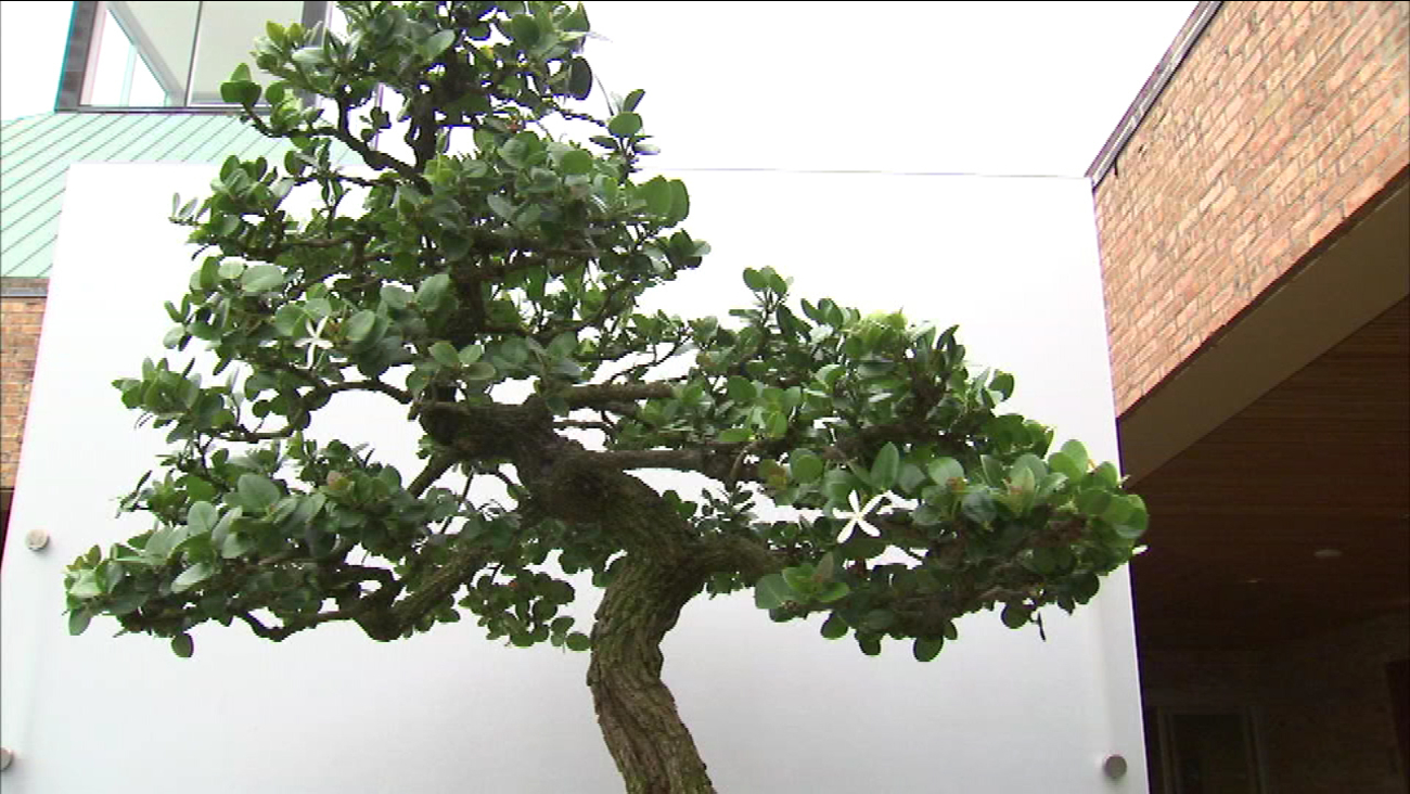 Chicago Botanic Garden Bonsai Tree Exhibit Celebrates Anese Traditions Abc7chicago