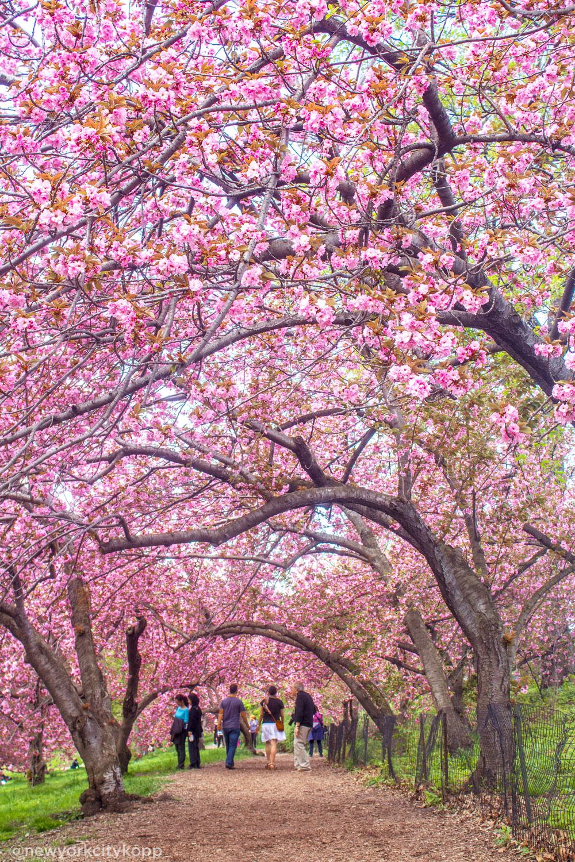<div class='meta'><div class='origin-logo' data-origin='none'></div><span class='caption-text' data-credit='Kelly Kopp (@newyorkcitykopp)'>Cherry blossoms in Central Park</span></div>