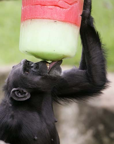 "<div class=""meta image-caption""><div class=""origin-logo origin-image none""><span>none</span></div><span class=""caption-text"">A chimpanzee enjoys a colorful iceblock as Christmas came early to residents of Sydney's Taronga Zoo. (AP Photo/Rick Rycroft)</span></div>"