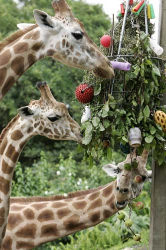 "<div class=""meta image-caption""><div class=""origin-logo origin-image none""><span>none</span></div><span class=""caption-text"">A trio of giraffes pick treats from a makeshift Christmas tree as Christmas came early to residents of Sydney's Taronga Zoo. (AP Photo/Rick Rycroft)</span></div>"