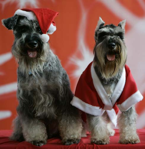 "<div class=""meta image-caption""><div class=""origin-logo origin-image none""><span>none</span></div><span class=""caption-text"">Bacchus, left, and Irish, both Schnauzer dogs, dressed in a Santa Claus outfit pose during a fundraising event in suburban Manila, Philippines. (AP Photo/Aaron Favila)</span></div>"