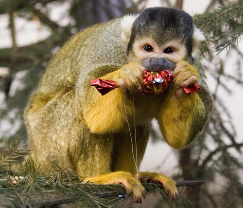 "<div class=""meta image-caption""><div class=""origin-logo origin-image none""><span>none</span></div><span class=""caption-text"">A Bolivian squirrel monkey, Saimiri boliviensis, eats a Christmas fondant it received as Christmas present in the Animal Park of Nyiregyhaza, 245 kms east of Budapest. (AP Photo/MTI, Attila Balazs)</span></div>"