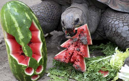 "<div class=""meta image-caption""><div class=""origin-logo origin-image none""><span>none</span></div><span class=""caption-text"">An Aldabra tortoise bites into a watermelon at Taronga Zoo in Sydney, Australia. (AP Photo/Rob Griffith)</span></div>"