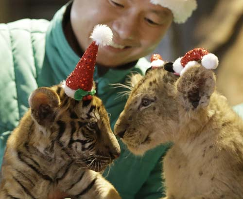 "<div class=""meta image-caption""><div class=""origin-logo origin-image none""><span>none</span></div><span class=""caption-text"">A lion cub named Dominjun, right, and a tiger cub named Jangbori wear Santa Claus caps during an event to celebrate Christmas at the Everland amusement park in Yongin, South Korea (AP Photo/Ahn Young-joon)</span></div>"