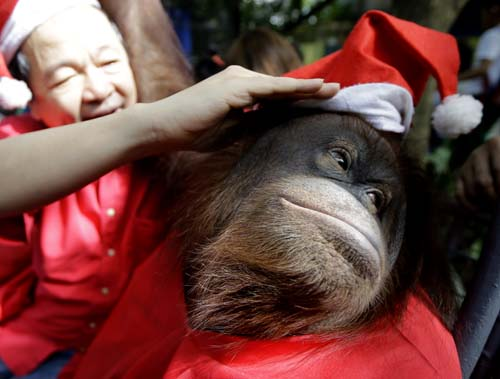 "<div class=""meta image-caption""><div class=""origin-logo origin-image none""><span>none</span></div><span class=""caption-text"">Zoo owner Manny Tangco adjusts the Santa hat of an Orangutan named ""Pacquiao"" while giving school children a tour ahead of a Christmas celebration. (AP Photo/Bullit Marquez)</span></div>"