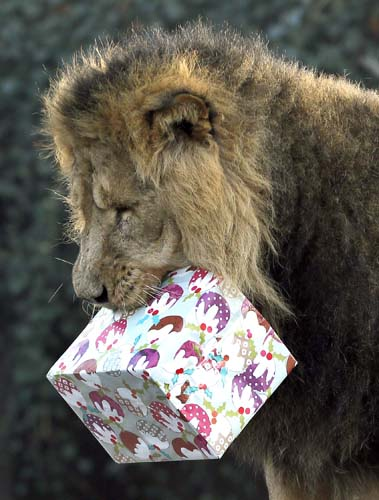 "<div class=""meta image-caption""><div class=""origin-logo origin-image none""><span>none</span></div><span class=""caption-text"">Lucifer the lion grabs hold of a Christmas present given to him during a media opportunity at London Zoo. (AP Photo/Kirsty Wigglesworth)</span></div>"