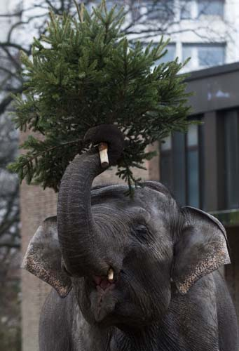 "<div class=""meta image-caption""><div class=""origin-logo origin-image none""><span>none</span></div><span class=""caption-text"">An elephant holds  a Christmas tree at the Berlin Zoo at the launch of the annual feeding of Christmas trees in Berlin. (AP Photo/Markus Schreiber)</span></div>"