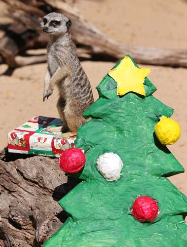 "<div class=""meta image-caption""><div class=""origin-logo origin-image none""><span>none</span></div><span class=""caption-text"">A meerkat named Bob inspects a present left near a makeshift Christmas tree at Taronga Zoo in Sydney. The zoo is celebrating Christmas with the animals. (AP Photo/Rick Rycroft)</span></div>"