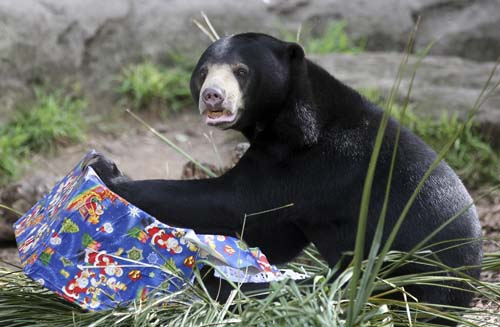 "<div class=""meta image-caption""><div class=""origin-logo origin-image none""><span>none</span></div><span class=""caption-text"">A sun bear opens a Christmas food gift at Taronga Zoo in Sydney, Australia. Animals ripped open festively wrapped Christmas gifts filled with fruit and nut style treats. (AP Photo/Rob Griffith)</span></div>"