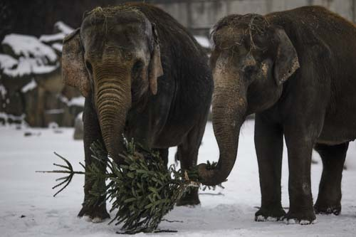 "<div class=""meta image-caption""><div class=""origin-logo origin-image none""><span>none</span></div><span class=""caption-text"">Two elephants feed on a Christmas tree at the zoo Tierpark in Berlin, Germany. Every year discarded Christmas trees are offered to the animals as a snack. (AP Photo/Markus Schreiber)</span></div>"