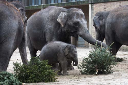 "<div class=""meta image-caption""><div class=""origin-logo origin-image none""><span>none</span></div><span class=""caption-text"">Elephants eat Christmas trees  at the Berlin Zoo at the launch of the annual feeding of Christmas trees in Berlin. (AP Photo/Markus Schreiber)</span></div>"