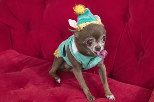 "<div class=""meta image-caption""><div class=""origin-logo origin-image none""><span>none</span></div><span class=""caption-text"">Chloe Kardoggian, a 12-year old rescue chihuahua, models a guinea pig elf costume during the PetSmart holiday collection preview in New York. (AP Photo/Mary Altaffer)</span></div>"