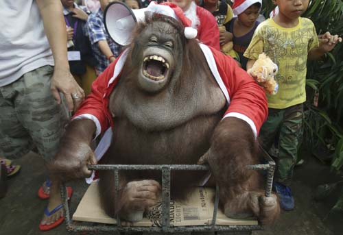 "<div class=""meta image-caption""><div class=""origin-logo origin-image none""><span>none</span></div><span class=""caption-text"">An orangutan named ""Pacquiao"" dressed in a Santa Claus costume reacts as he joins an ""Animal Christmas Party"" at the Malabon zoo in suburban Malabon, north of Manila, Philippines. (AP Photo/Aaron Favila)</span></div>"