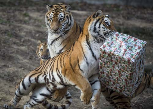 "<div class=""meta image-caption""><div class=""origin-logo origin-image none""><span>none</span></div><span class=""caption-text"">A tiger tries to unwrap a cardboard box containing chicken meat it received as Christmas gift in the zoo in Veszprem, 108 kms southwest of Budapest, Hungary. (Boglarka Bodnar/MTI via AP)</span></div>"