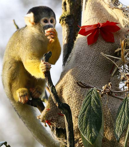 "<div class=""meta image-caption""><div class=""origin-logo origin-image none""><span>none</span></div><span class=""caption-text"">A Squirrel monkey investigates a Christmas stocking,  during a media opportunity at London Zoo. (AP Photo/Kirsty Wigglesworth)</span></div>"
