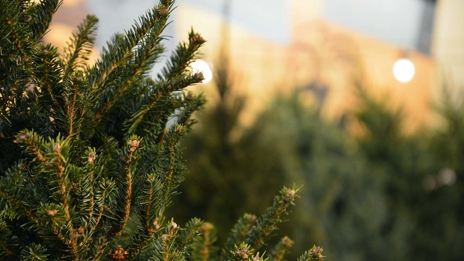 christmas tree recycling starts in chicago abc7chicagocom - Chicago Christmas Tree Recycling