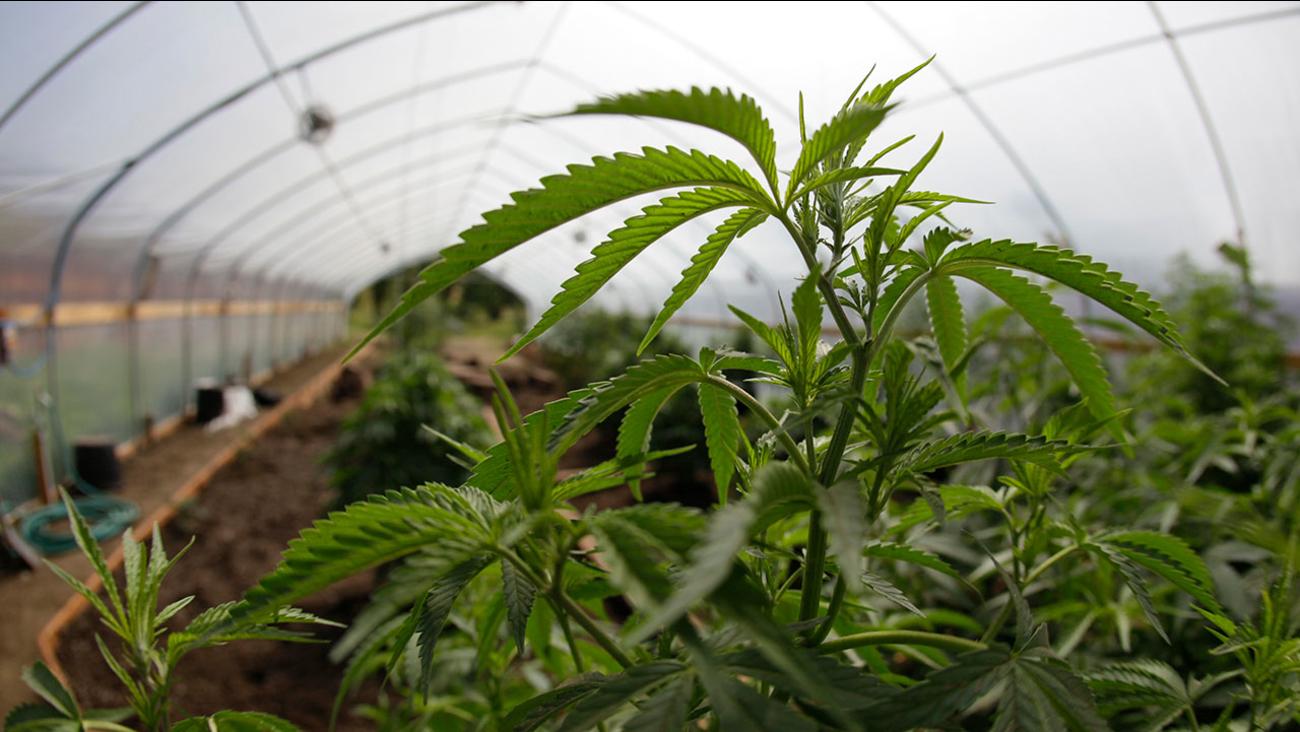 FILE: marijuana