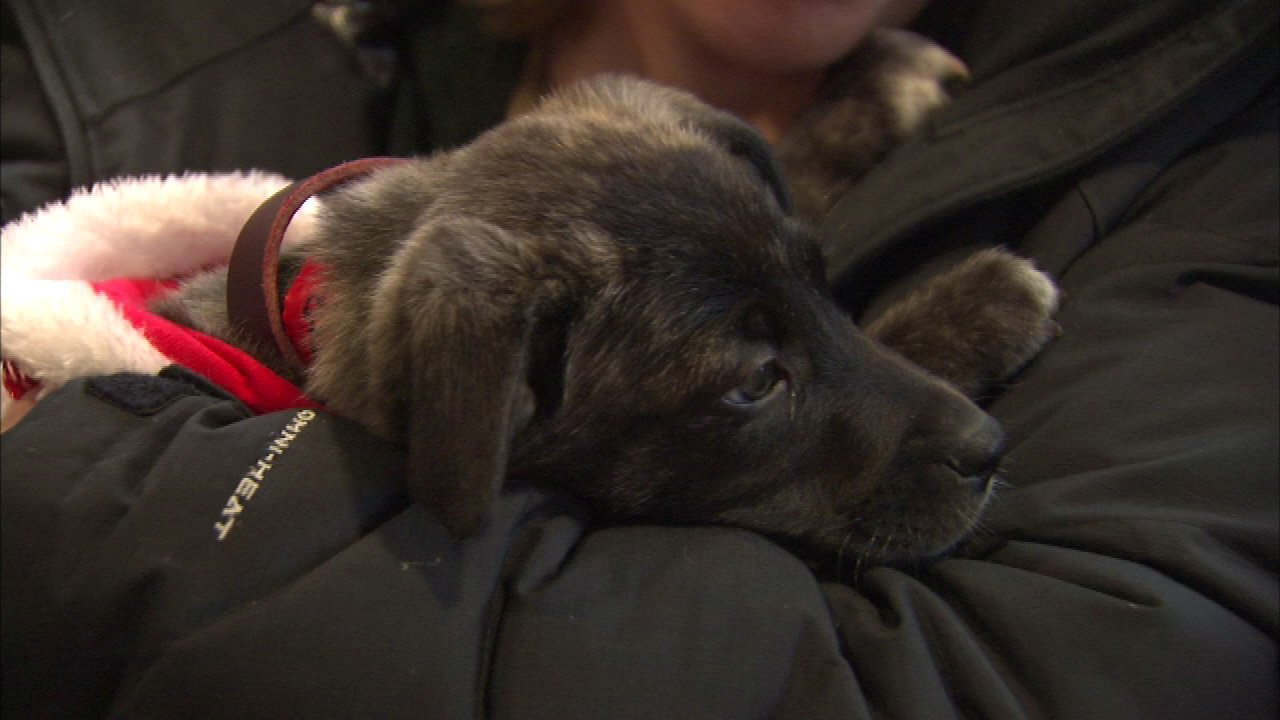 Photos Adoptable Puppies Cuddle With Shoppers In Lincoln Park