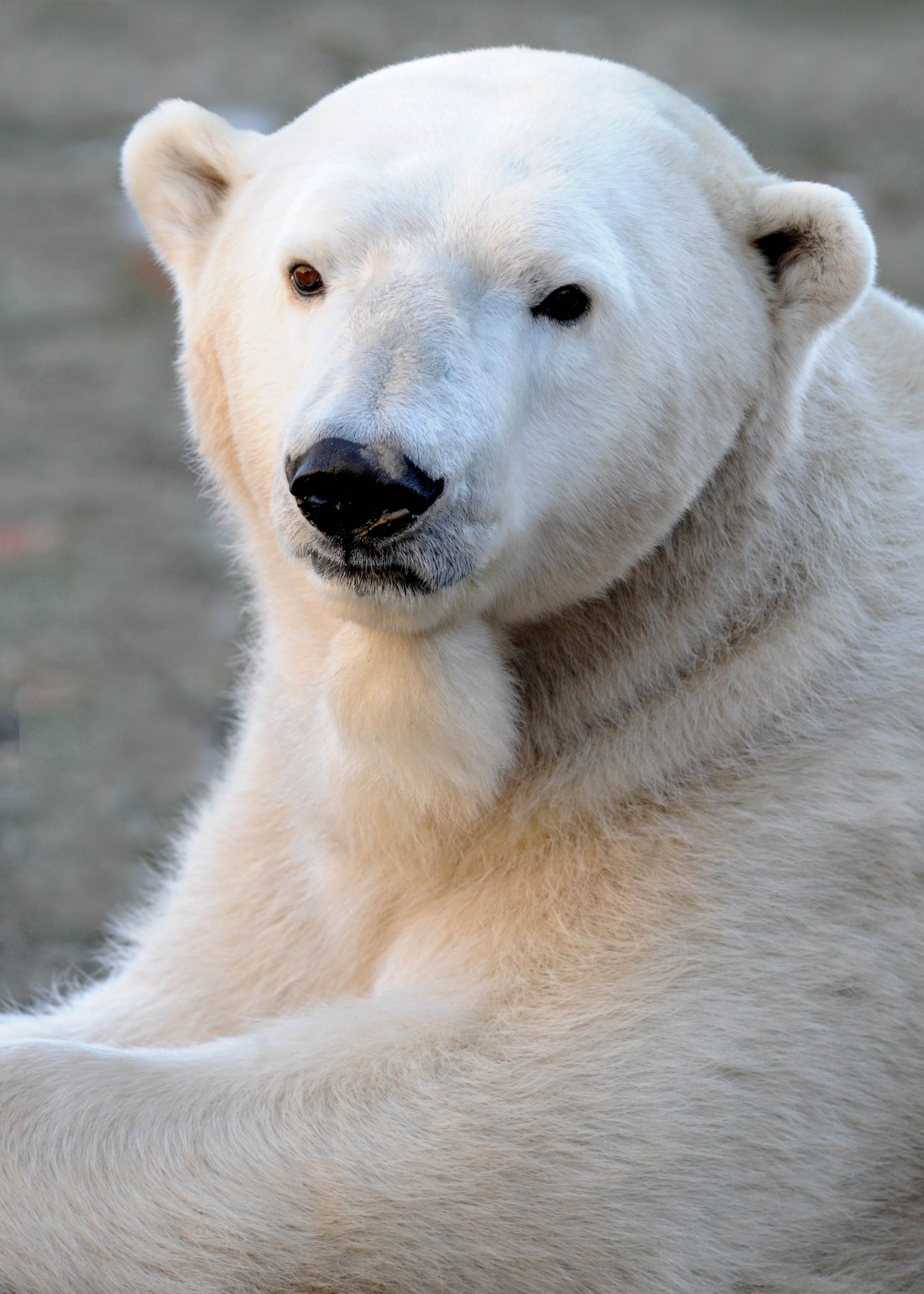"<div class=""meta image-caption""><div class=""origin-logo origin-image wls""><span>WLS</span></div><span class=""caption-text"">Aussie the polar bear. (Brookfield Zoo.)</span></div>"