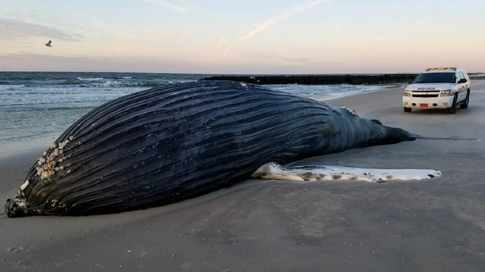 здоровья, кит выбросился на берег картинка однажды положили