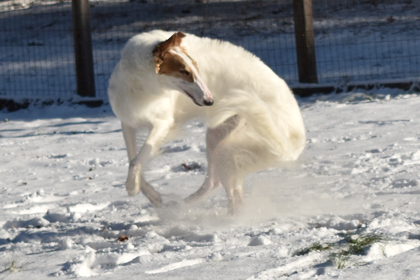 "<div class=""meta image-caption""><div class=""origin-logo origin-image wtvd""><span>WTVD</span></div><span class=""caption-text"">Vanilla the Borzoi dancing a pirouette in the snow. (Margaret Piocne - ABC11 Eyewitness)</span></div>"