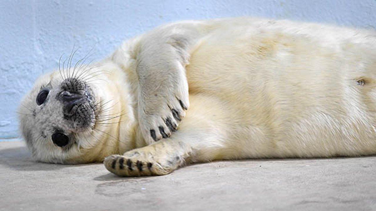 Photos Gray Seal Pup Born At Brookfield Zoo Abc7 Chicago