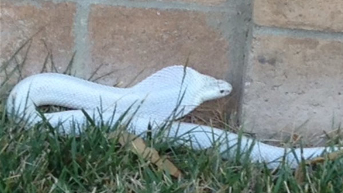 An albino monocled cobra bit a dog in Thousand Oaks on Monday, Sept. 1, 2014.