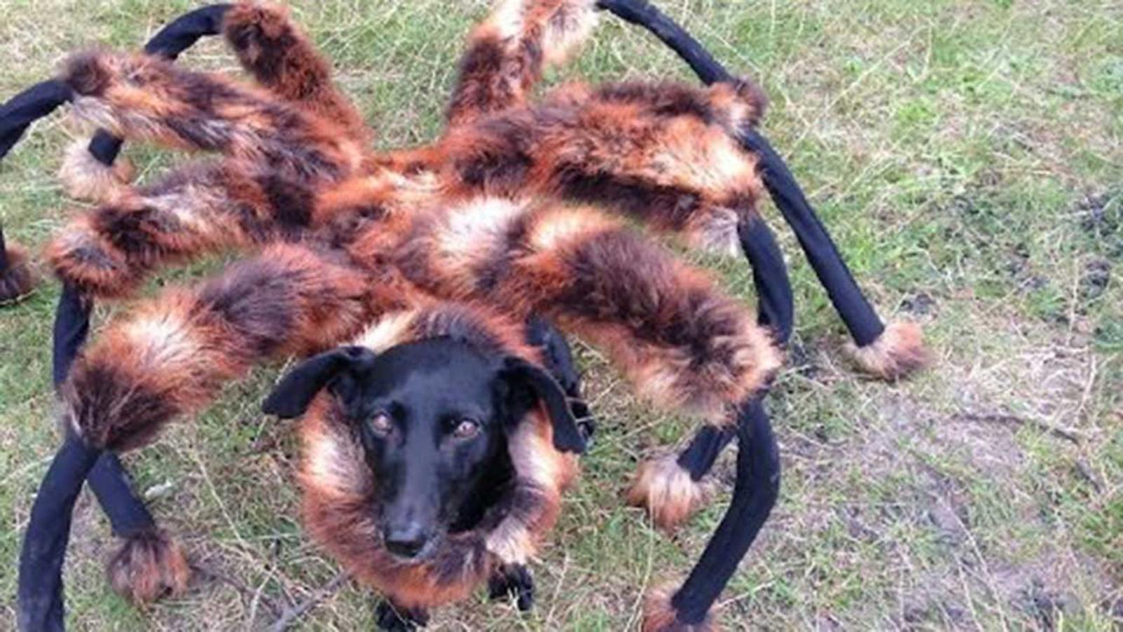 Spider Dog Hilarious Internet Sensation Or Mean Prank Abc7 San