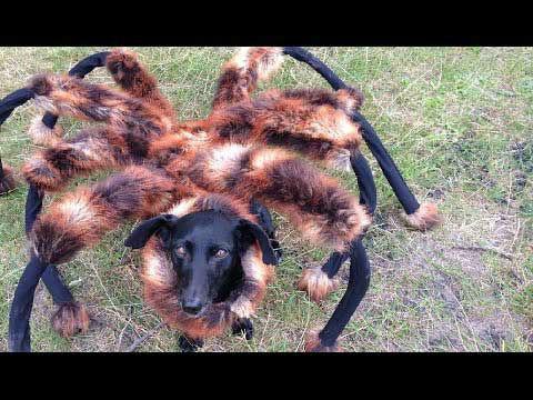 spider dog: hilarious internet sensation or mean prank? | abc7