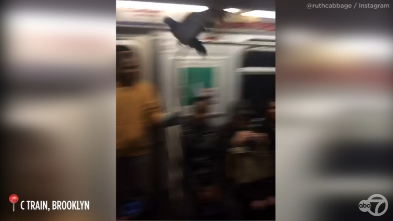 Rogue pigeon boards C train in Brooklyn, chaos ensues