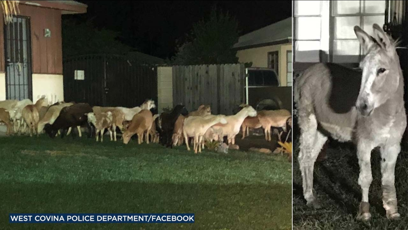 A herd of escaped sheep and goats led by a lone donkey took a midnight stroll through the streets of West Covina before being corralled by police on Thursday, Jan. 25, 2018.