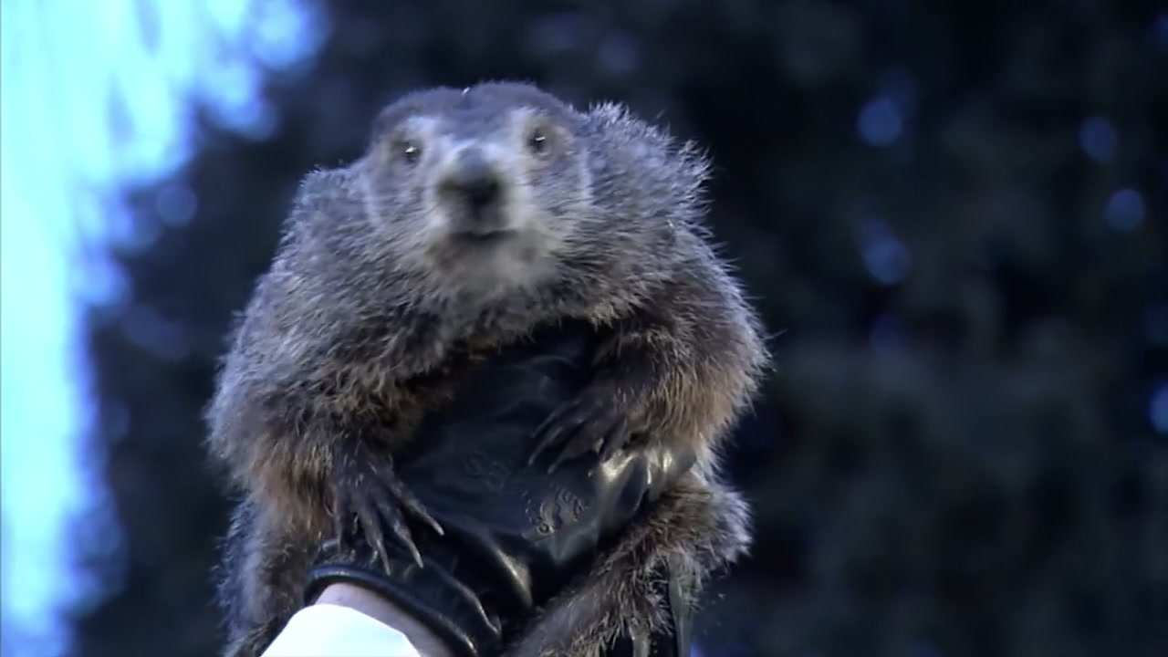 more winter punxsutawney phil sees his shadow on groundhog day