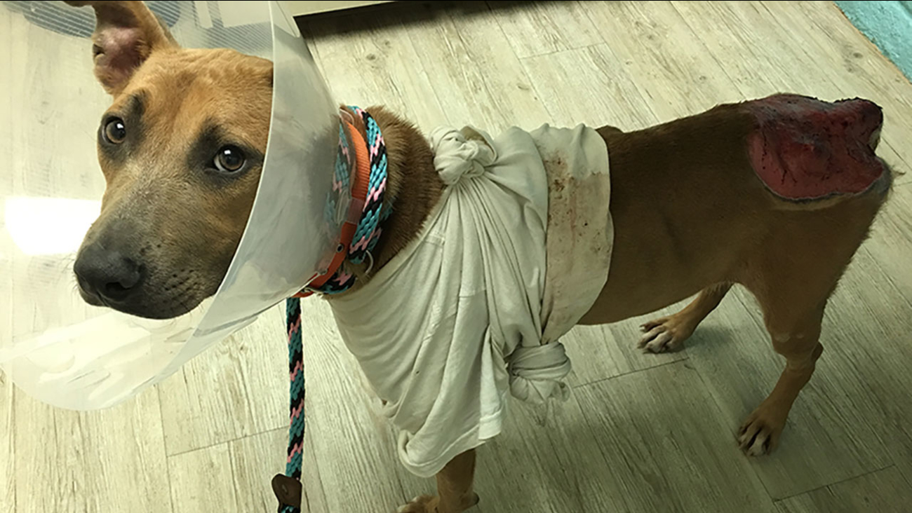 A pit bull in Mexico was able to receive life-saving care from its burn injuries after volunteers smuggled her into California.