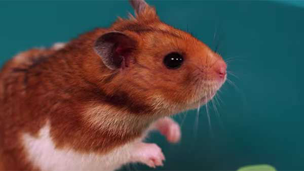 "<div class=""meta image-caption""><div class=""origin-logo origin-image ""><span></span></div><span class=""caption-text"">In one corner, we have Tiny Hamster, of ''Tiny Hamsters Eating Tiny Burritos'' fame. (Photo/YouTube, HelloDenizen)</span></div>"