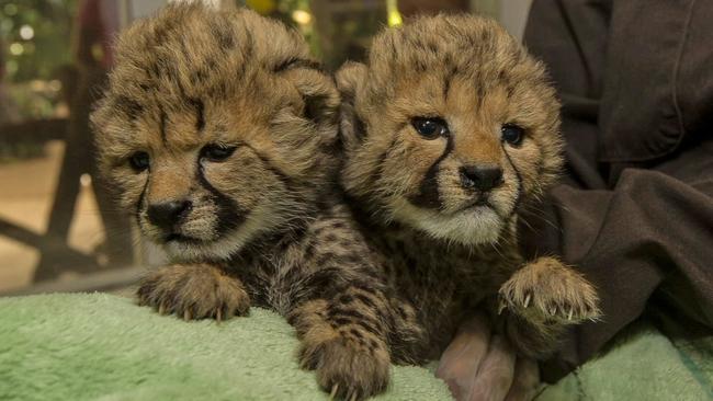san diego zoo debuts 2 newest cheetah cubs